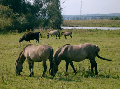Arnhem - wildlife at Meinerswijk
